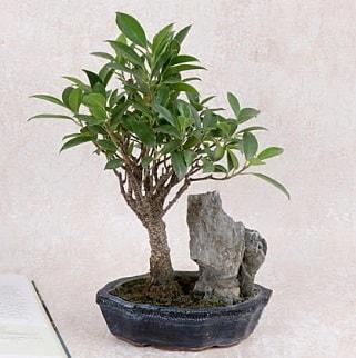 Japon ağacı Evergreen Ficus Bonsai  Düzce internetten çiçek siparişi