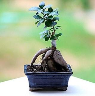 Marvellous Ficus Microcarpa ginseng bonsai  Düzce güvenli kaliteli hızlı çiçek