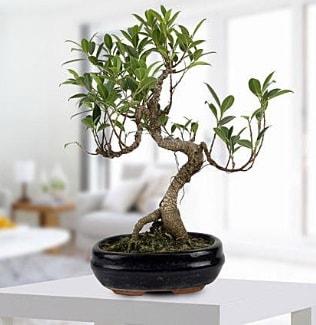 Gorgeous Ficus S shaped japon bonsai  Düzce çiçekçi mağazası