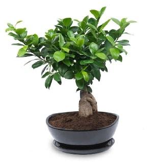 Ginseng bonsai ağacı özel ithal ürün  Düzce çiçek servisi , çiçekçi adresleri