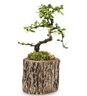 Doğal kütükte S bonsai ağacı  Düzce cicekciler , cicek siparisi