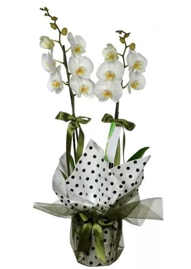 Çift Dallı Beyaz Orkide  Düzce çiçek gönderme sitemiz güvenlidir