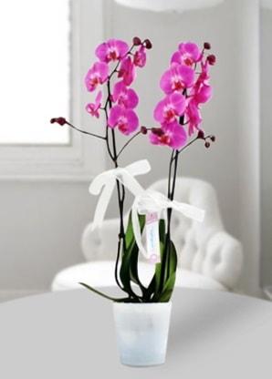 Çift dallı mor orkide  Düzce çiçek mağazası , çiçekçi adresleri