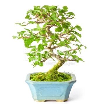 S zerkova bonsai kısa süreliğine  Düzce çiçekçiler