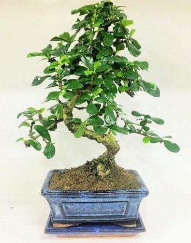 S Bonsai japon ağacı bitkisi  Düzce İnternetten çiçek siparişi