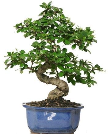 21 ile 25 cm arası özel S bonsai japon ağacı  Düzce cicek , cicekci