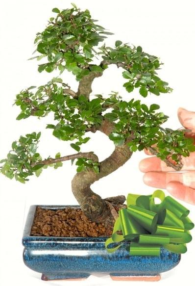Yaklaşık 25 cm boyutlarında S bonsai  Düzce çiçek online çiçek siparişi