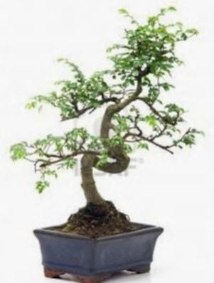 S gövde bonsai minyatür ağaç japon ağacı  Düzce cicekciler , cicek siparisi