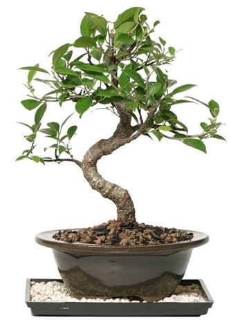 Altın kalite Ficus S bonsai  Düzce cicek , cicekci  Süper Kalite
