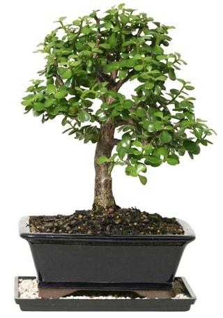 15 cm civarı Zerkova bonsai bitkisi  Düzce çiçek online çiçek siparişi