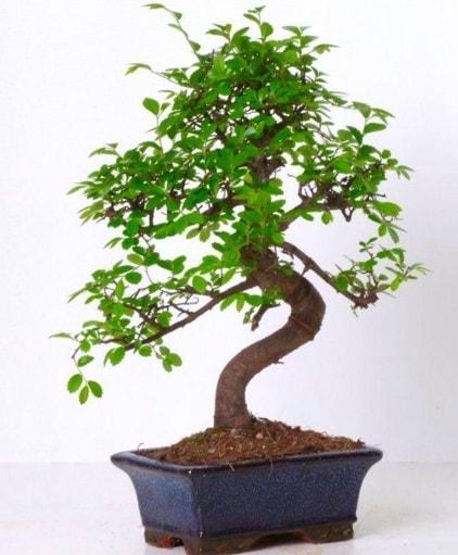 S gövdeli bonsai minyatür ağaç japon ağacı  Düzce internetten çiçek siparişi