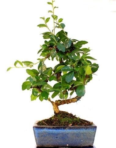 S gövdeli carmina bonsai ağacı  Düzce çiçek siparişi vermek  Minyatür ağaç
