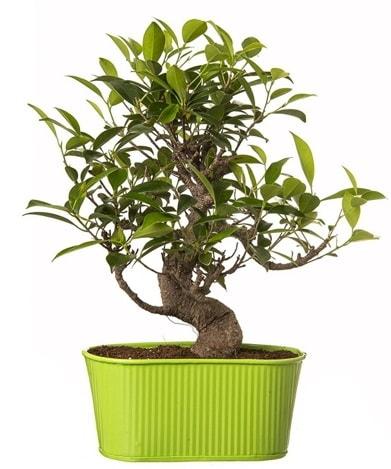 Ficus S gövdeli muhteşem bonsai  Düzce çiçek online çiçek siparişi