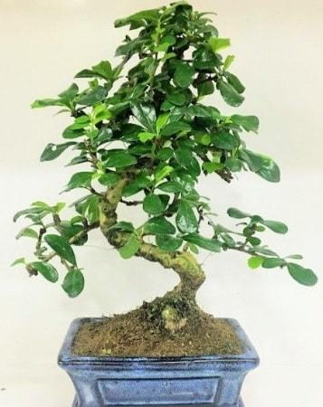 Zelkova S gövdeli Minyatür ağaç Bonzai  Düzce online çiçek gönderme sipariş