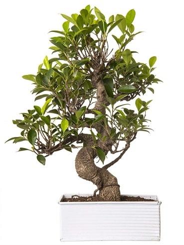 Exotic Green S Gövde 6 Year Ficus Bonsai  Düzce internetten çiçek siparişi