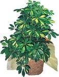 Düzce kaliteli taze ve ucuz çiçekler  Schefflera gold